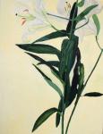 White Lilies, 2008